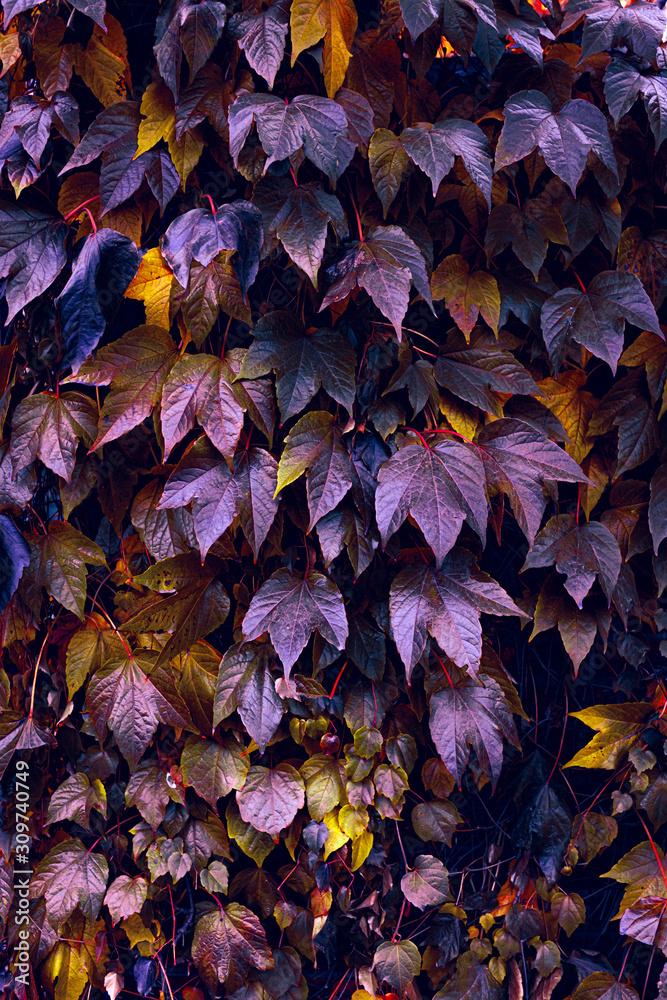 Jesienne kolory pnączy roślin na miejskich murach. - obrazy, fototapety, plakaty