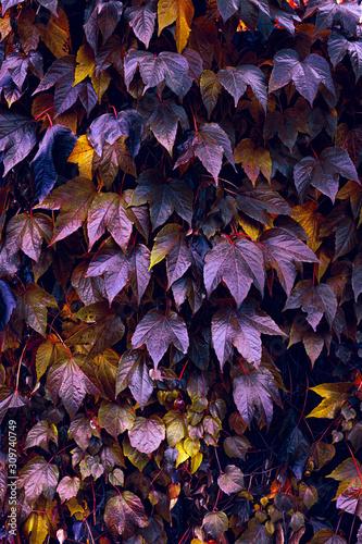 Obraz Jesienne kolory pnączy roślin na miejskich murach. - fototapety do salonu