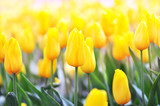 Fototapeta Tulipany - Spring blossoming yellow tulips, bokeh flower background, pastel and soft floral card, shallow DOF, toned