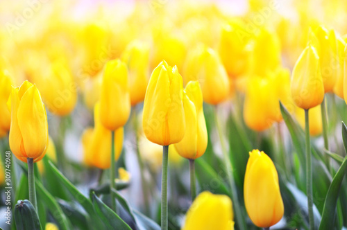 Obraz Spring blossoming yellow tulips, bokeh flower background, pastel and soft floral card, shallow DOF, toned - fototapety do salonu