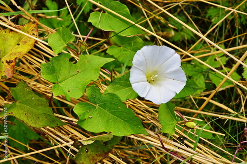 Fotografia, Obraz Calystegia sepium. Hedge bindweed. Tinkerbell mayor.