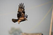 Black Kite Taking A Flight