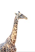 The Thornicroft's Giraffe (Giraffa Camelopardalis Thornicrofti), Sometimes Known As The Rhodesian Giraffe Isolated On White Background. Very Rare Giraffe, Isolated Portrait.