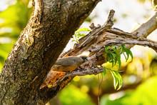 Speckled Mousebird (Colius Str...