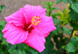 canvas print picture - Pink Hibiscus flower (China rose, Gudhal,Chaba) in a tropical garden of Tenerife,Canary Islands,Spain.Floral background.Selective focus.