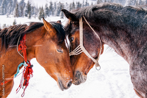 Horses in love in beautiful winter. Canvas Print