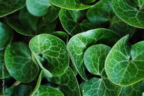 liście kopytnika pospolitego Asarum europaeum