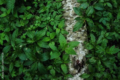 kłoda brzozy na dnie lasu - 309774778