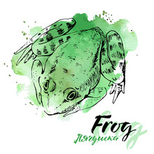 Vector Watercolor Frog On Whit...