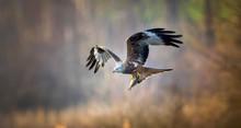 A Red Kite Milvus Milvus Bird ...