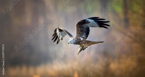 Photo A Red Kite Milvus milvus bird flying away with a large fish it just caught from