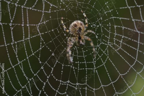 Araignée, épeire, toile Wallpaper Mural