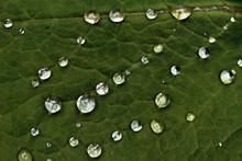 Water Drops On Green Leaf, åre, Sweden, Sverige, Norrland