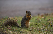 Indiana Fox Squirrel Eating Wh...