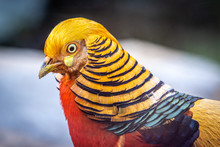 Golden Pheasant Closeup