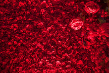 Petals Of Red Roses Background...
