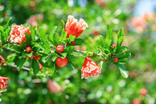 Pink Blooming Mini Pomegranate Flowers In Bush In Green Summer Garden