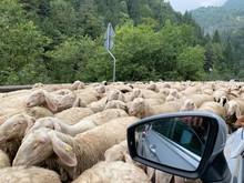 Gregge Di Pecore Che Ha Invaso La Strada. Transumanza. Fotografato Dall'auto
