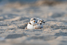 A Hatchling Piping Plover Stretching Its Wings Next To Its Mother.