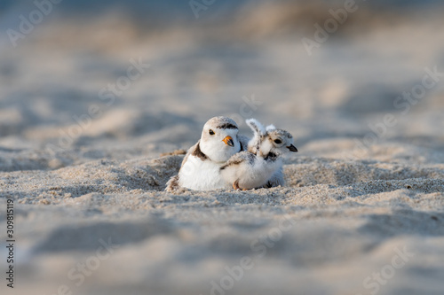 Valokuva A hatchling Piping Plover stretching its wings next to its mother