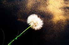 White Dandelion Inflorescences...