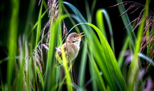 The Great Reed Warbler Acrocephalus Arundinaceus. Water Bird Hunt Insects For Their Young In The Nest.