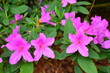 Leinwandbild Motiv pink flowers in the garden