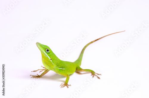 Photo Weißlippen-Anolis (Anolis coelestinus) - Tiburon Green Anole, Hispaniolan green