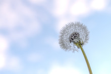 A White Dandelion Round Seed H...