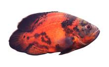 Beautiful Bright Oscar Fish On...