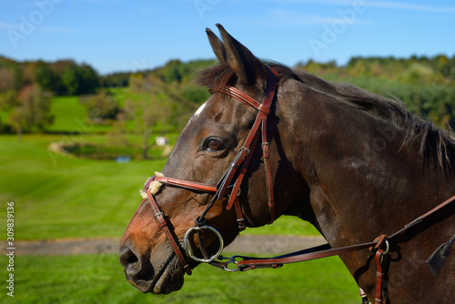 Fototapeta Face of a bay thoroughbred gelding horse with green fields