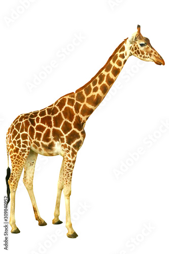 Giraffe in profile in full length isolated on a white background Canvas Print
