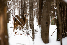 Small Whitetail Buck Deer With Snow On His Face