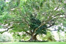 Fig Tree In The Royal Botanic Gardens, Sydney, Australia
