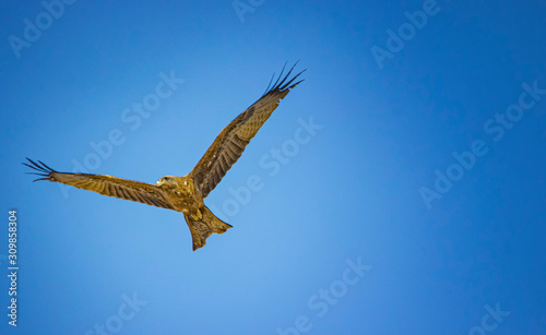 Gurney's eagle, Aquila gurney in flight in Senegal, Africa Wallpaper Mural