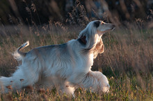 Afghan Hound Running In Cold Autumn Field