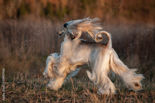 Afghan hound running in cold autumn field Canvas Print