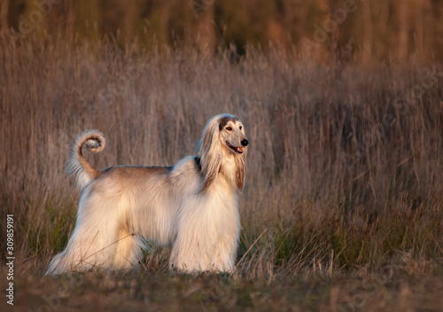 Photo Afghan hound posing in cold autumn field