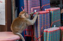 Little Curiosity Monkey In Loo...