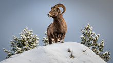Bighorn Sheep On Top On A Snow Peak