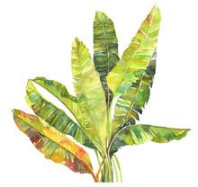 Exotic Tropical Banana Tree  G...