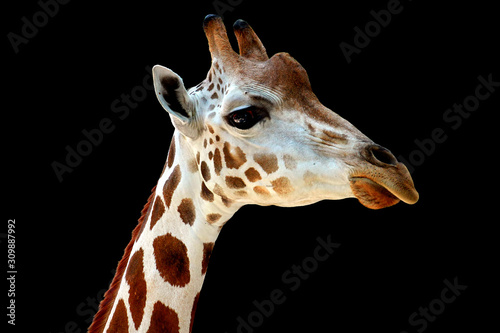 head of giraffe with black background Canvas Print