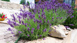 Luxurious bushes of fragrant provence lavender bloom in a landscape design composition with boulders and pine