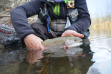 Fototapeta Tęcza - catch of a beautiful rainbow trout with fly