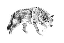 Hand Drawn Wolf, Sketch Graphi...