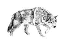Hand Drawn Wolf, Sketch Graphics Monochrome Illustration