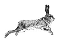 Hand Drawn Hare, Sketch Graphi...