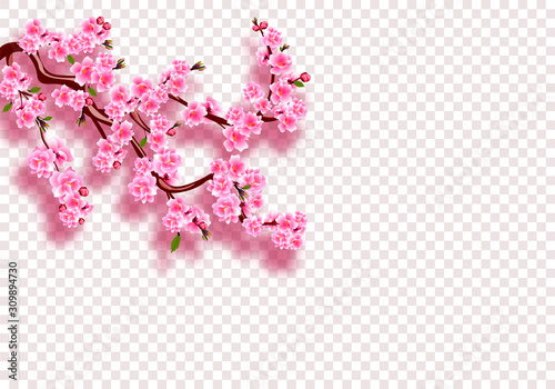 Sakura. Branches with pink flowers, leaves and buds with shadow. On a transparent background. illustration