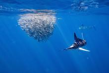 Striped Marlin マカジキ Mexico バハカリフォルニア半島