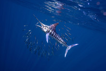 Striped Marlin マカジキ Me...